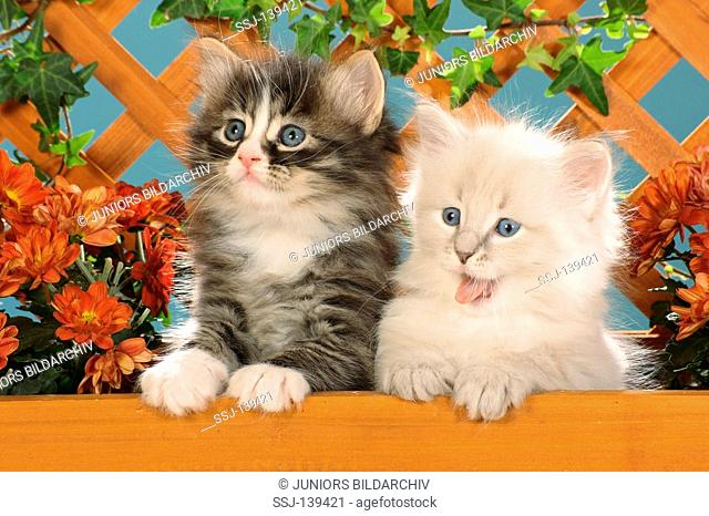 Siberian forest cat - two kittens next to flowers