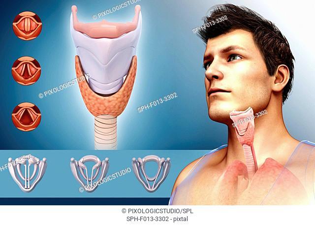 Human vocal cords and larynx, illustration