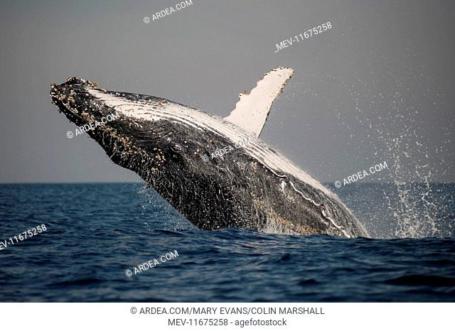 Humpback Whale breaching with outstretched pectoral fin
