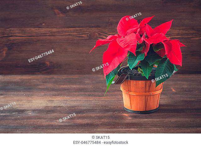 Poinsettia in a brown vintage pot on the wooden background