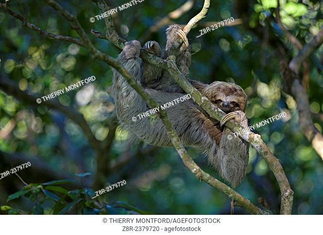 Bradypus variegatus. Sloth moving in the high branches. Costa Rica