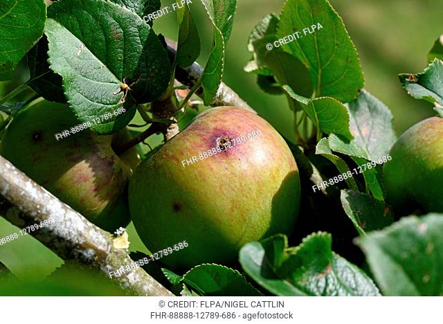 Exit hole and frass of codling moth, cydia pomonella, caterpillar on surface of maturing apple fruit on tree in summer, Berkshire, England, August