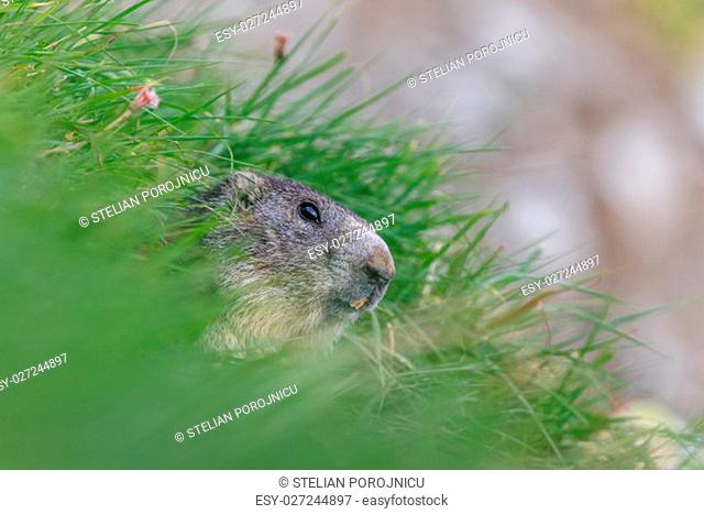 Gopher close face Stock Photos and Images   age fotostock
