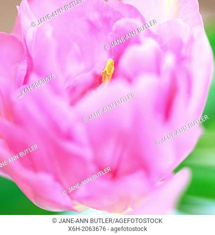 pretty and charming pink tulip