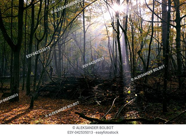 Sunbeam entering rich deciduous forest in misty morning with broken branches in foreground, Bialowieza Forest, Poland, Europe