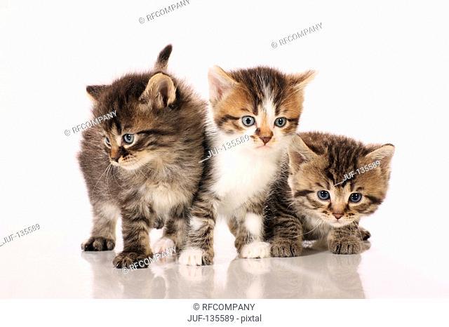 three kittens - cut out