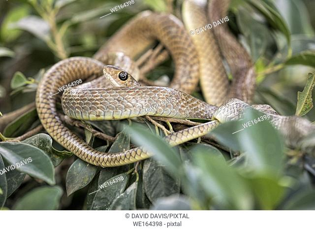 Brown tree snake resting in the branches of a snake farm in the Mekong Delta Vietnam