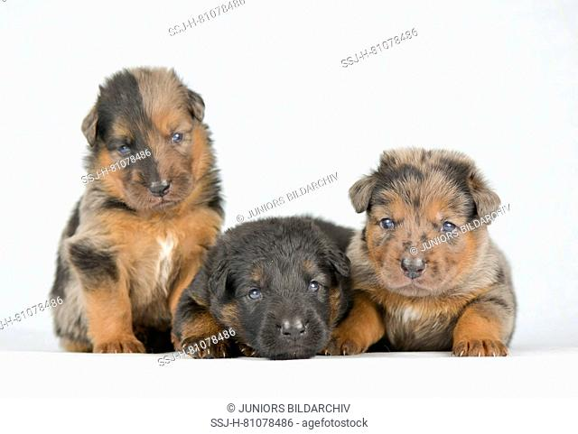Old German Shepherd Dog. Three puppies (4 weeks old) sitting and lying. Studio picture against a white background. Germany