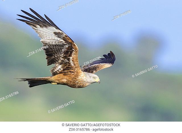 Red Kite (Milvus milvus), adult in flight