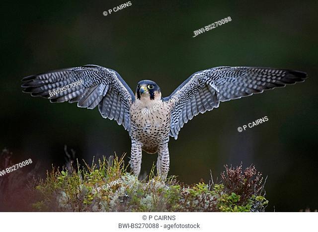peregrine falcon Falco peregrinus, sitting wing flapping, United Kingdom, Scotland