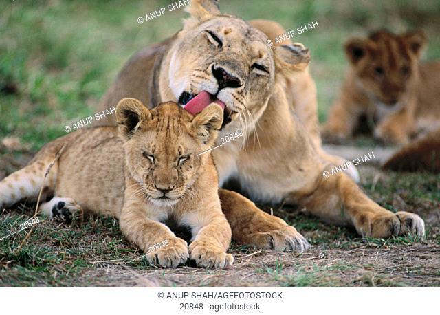 Lions (Panthera leo). Masai Mara. Kenya