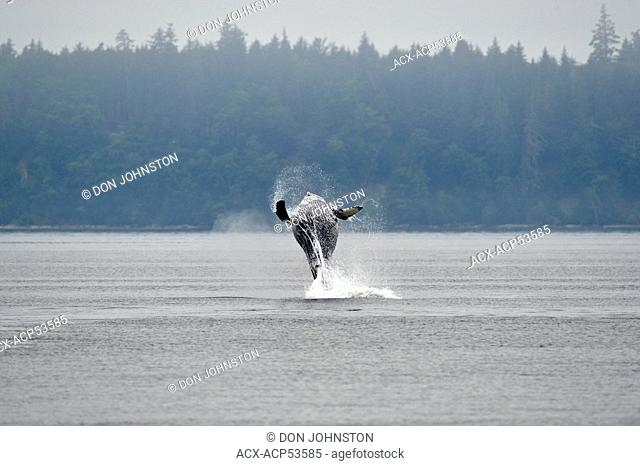 Humpback whale Megaptera novaeangliae Breaching, Blackfish Sound, Vancouver Island, British Columbia, Canada