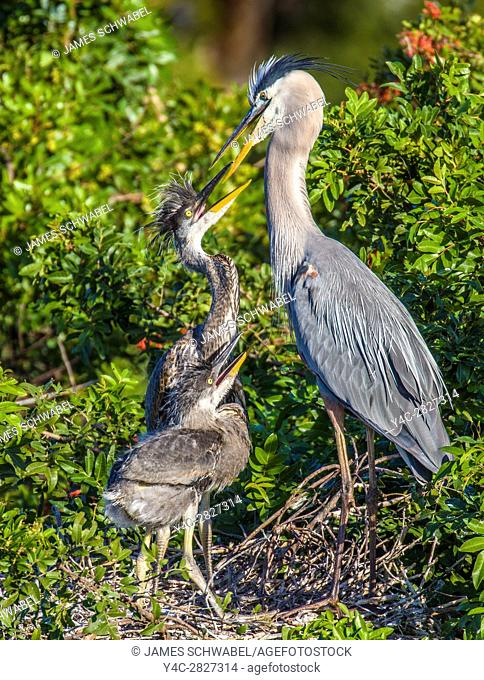 Great Blue Heron mother and chicks at the Venice Rookery in Venice Florida