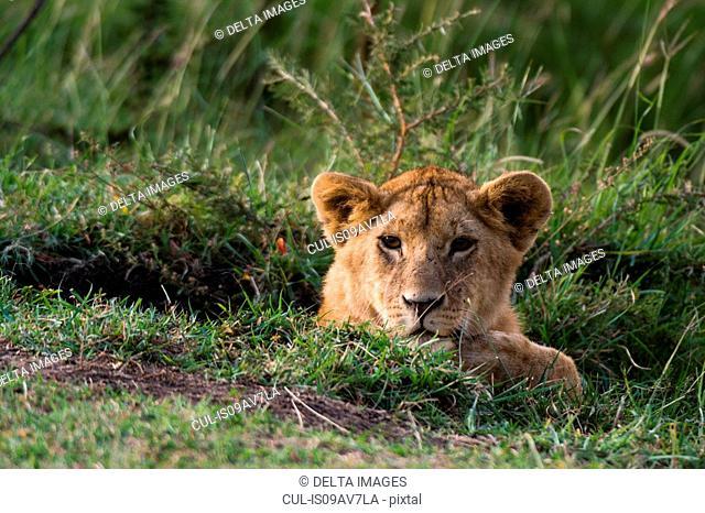 Lion cub (Panthera leo), Masai Mara, Kenya, Africa