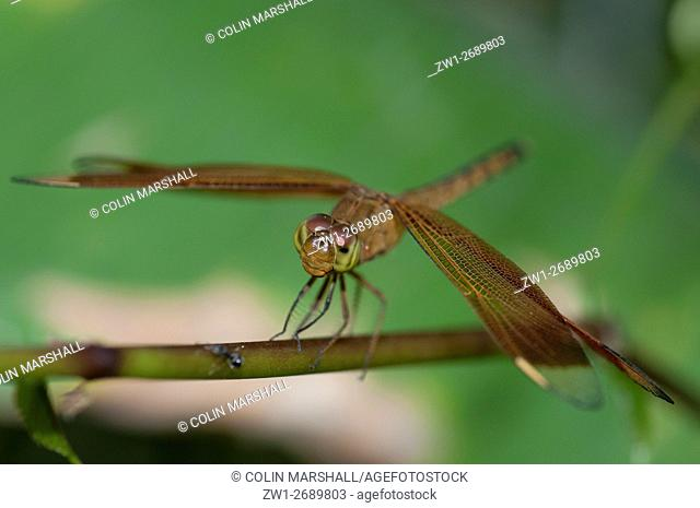 Indonesian Red-winged Dragonfly (Neurothemis terminata), Klungkung, Bali, Indonesia