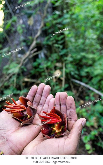 flores de arbol Canoj,bosque nuboso en las laderas del volcán Tolimán , lago de Atitlán ,Guatemala, Central America