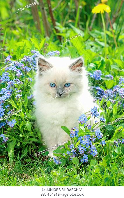 Neva Masquarade cat - kitten sitting between flowers