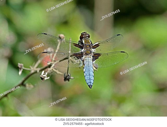 Male Broad-bodied Chaser-Libellula depressa. Uk
