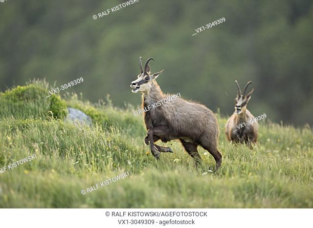 Chamois / Gaemse ( Rupicapra rupicapra ) two adult bucks, rivals, chasing each other over a mountain meadow, in breathtaking stamina, wildlife, Europe
