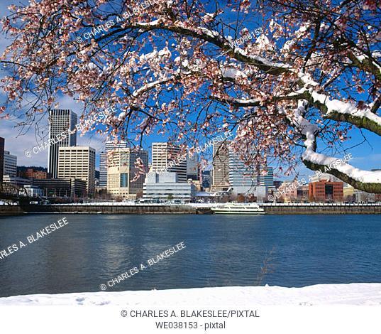 Snow on cherry blossoms in downtown Portland, Willamette River. Portland, Multnomah County, Oregon, USA