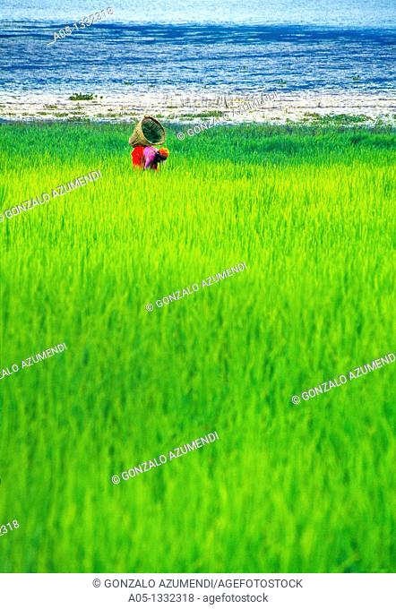 Rice field  Phewa lake  Pokhara valley  Nepal