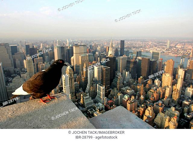USA, United States of America, New York City: Pigeon on the Empire State Building