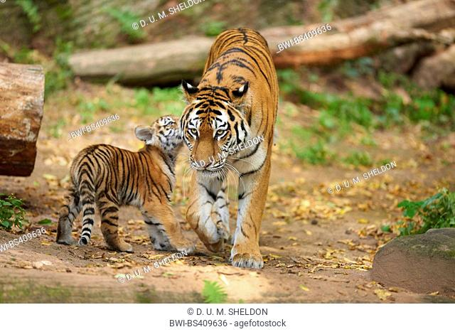 Siberian tiger, Amurian tiger (Panthera tigris altaica), female with cub in outdoor enclosure