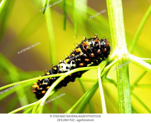 Caterpillar of Parnassius apollo butterfly - Italy