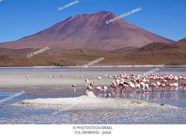Flock of flamingos, Salar de Uyuni (Salar de Tunupa), Bolivia