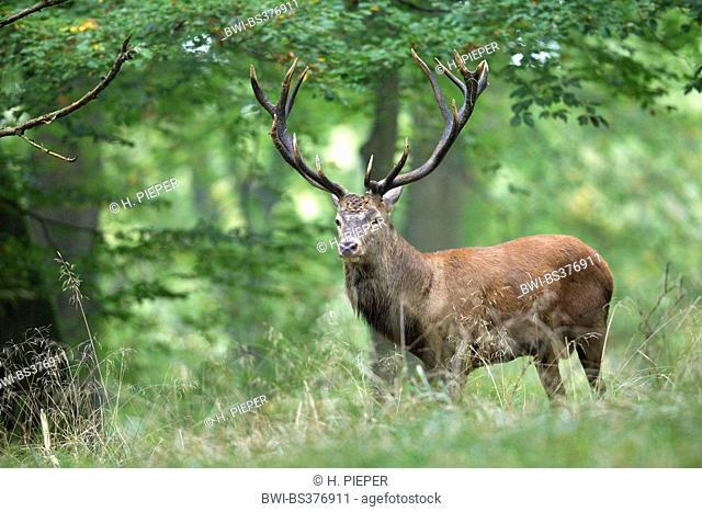 red deer (Cervus elaphus), stag in a beech forest, Germany, North Rhine-Westphalia