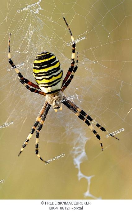 Wasp Spider (Argiope bruennichi), female sitting in her spiderweb, North Rhine-Westphalia, Germany