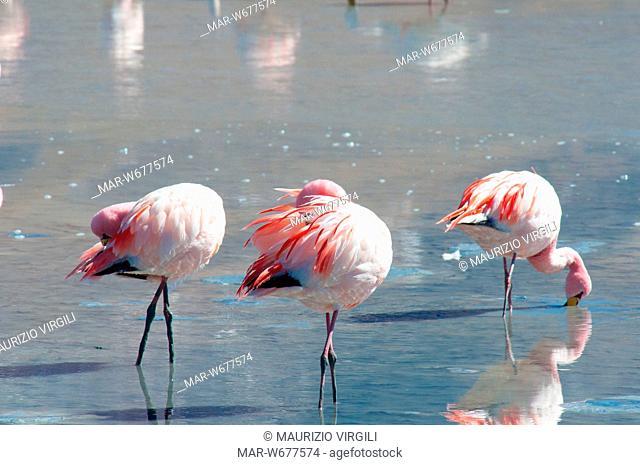 fenicottero di james, laguna hedionda, riserva eduardo avaroa, los lipez, altopiano, bolivia, america del sud