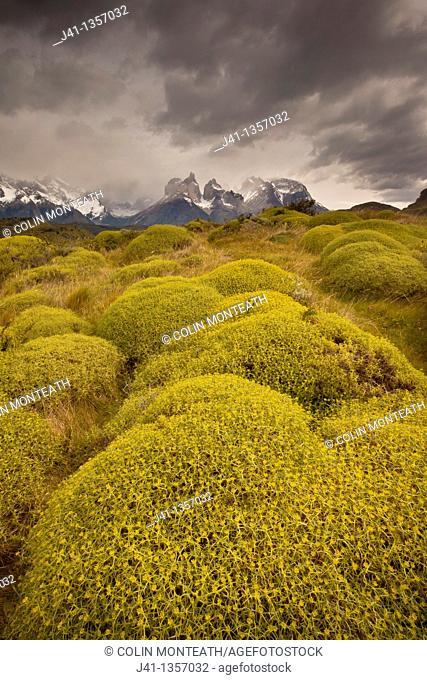 Rainstorm engulfs Cuernos del Paine peaks, thorny 'matabarrosa'  Mulinum spinosum in flower, Parque Nacional Torres del Paine, Patagonia, Chile
