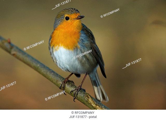 European robin - on twig / Erithacus rubecula