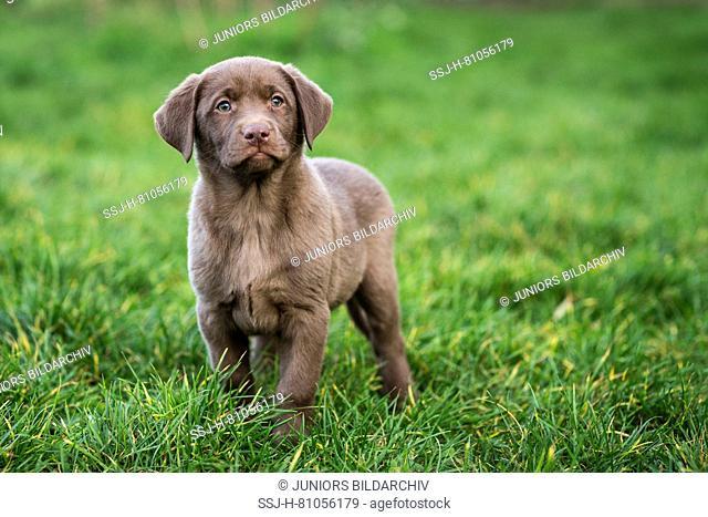 Labrador Rewtriever. Brown puppy standing in grass. Germany