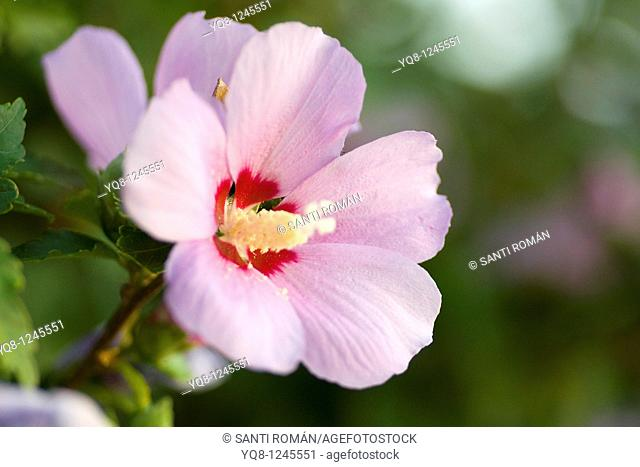 pink Rose of Sharon bloom with a red center, Hibiscus syriacus, Spain