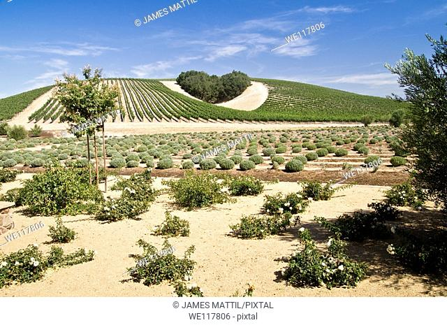 A copse of trees forms a heart shape on the hills of scenic California vineyard