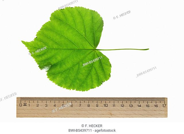 small-leaved lime, littleleaf linden, little-leaf linden (Tilia cordata), single leaf, upper side, cutout, with ruler