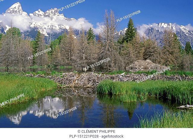 North American beaver (Castor canadensis) beaver dam and lodge in the Grand Teton National Park, Wyoming, USA