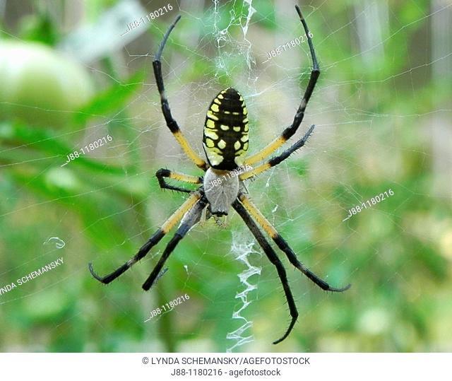 Black and yellow garden spider, Argiope aurantia in tomato garden