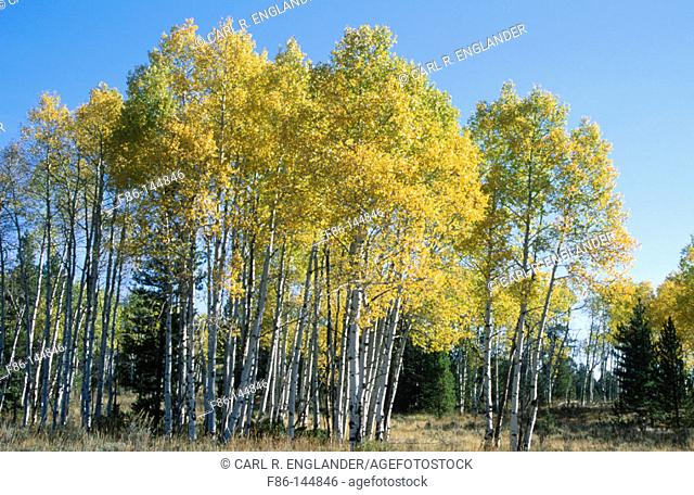 Aspen trees (Populus tremuloides). Grand Teton National Park. Wyoming. USA