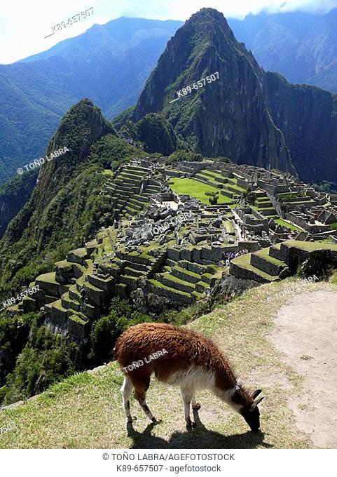 Llama (Lama glama). Machu Picchu. Peru