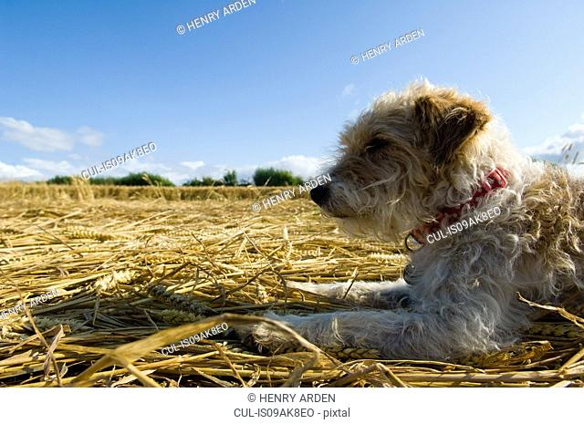 Jack Russell Terrier lying on field