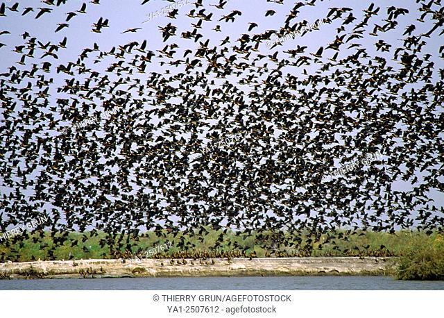 White-faced whistling ducks (dendrocygna viduata) flying, National park of Djoudj, Senegal, West Africa