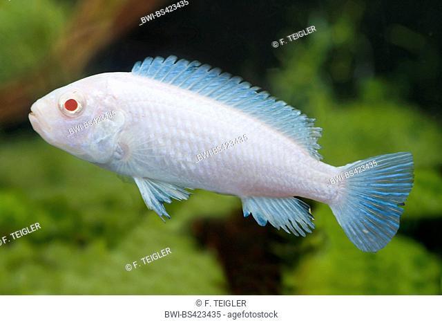 Labidochromis (Labidochromis Albino), albino