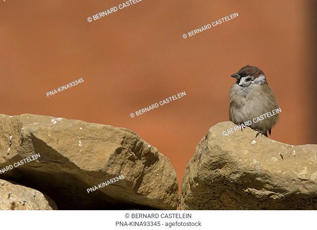 Eurasian Tree Sparrow Passer montanus - Lo Mantang, Himalaya, Mustang, Nepal, Asia