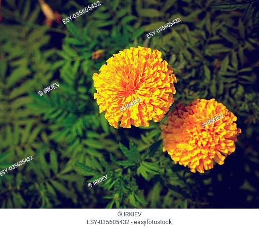 Yellow and orange marigold flowers in the garden in the fall