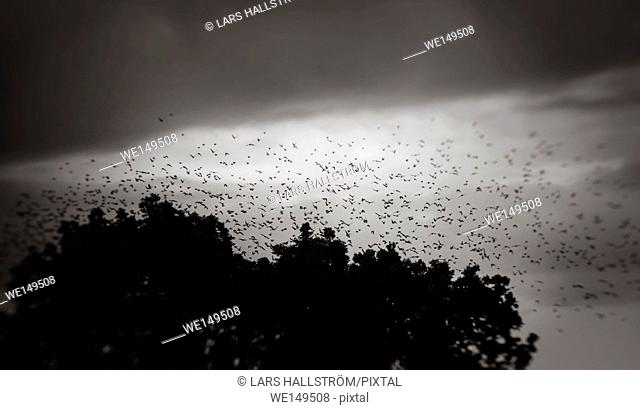 Big flock of birds flying in the sky above forest. Dark and moody nature background