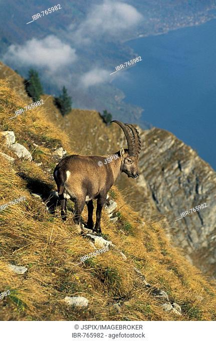 Alpine Ibex, Ibex, Steinbock (Capra ibex)