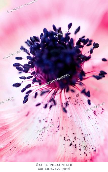 Close up of pink flower with purple stamen
